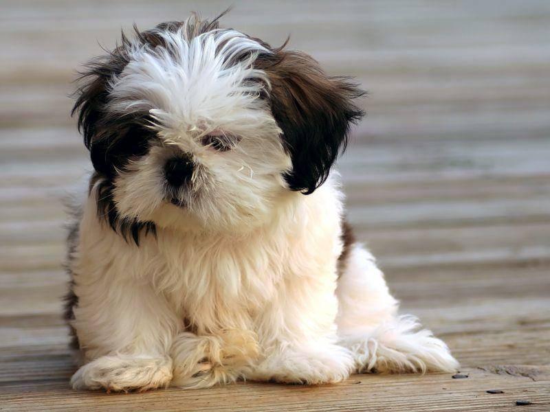 Der Shih Tzu ist kinderlieb und versteht sich normalerweise auch mit anderen Haustieren — Bild: Shutterstock / Darren K. Fisher