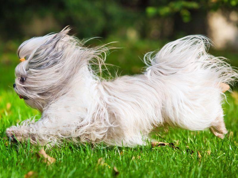 Sein tierisch langes Fell braucht ganz viel Extrapflege, damit es so schon bleibt — Bild: Shutterstock / chaoss