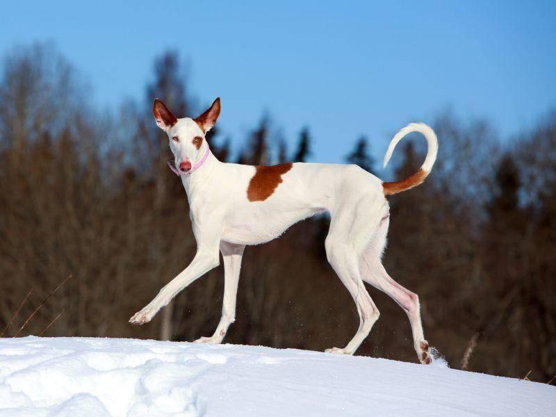 Auch manche spanischen Hunde können den Schnee genießen – Bild: Shutterstock / DragoNika