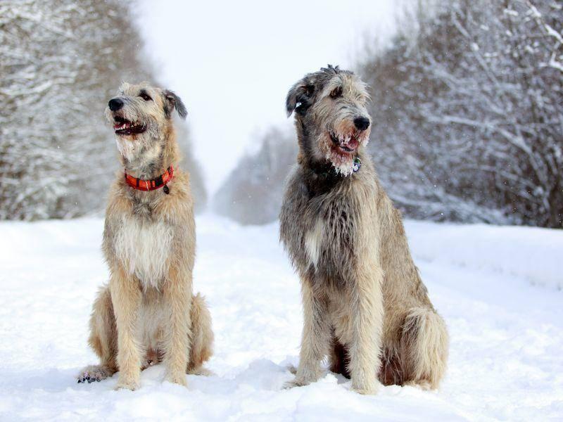 Irische Wolfshunde im Winter: Diese Jahreszeit gefällt ihnen am besten – Bild: Shutterstock / DragoNika