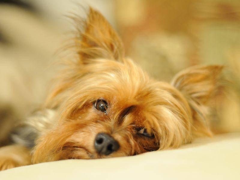 Yorkshire Terrier haben langes glänzendes Fell, haaren aber trotzdem kaum - Bild: Shutterstock / Troy Lim