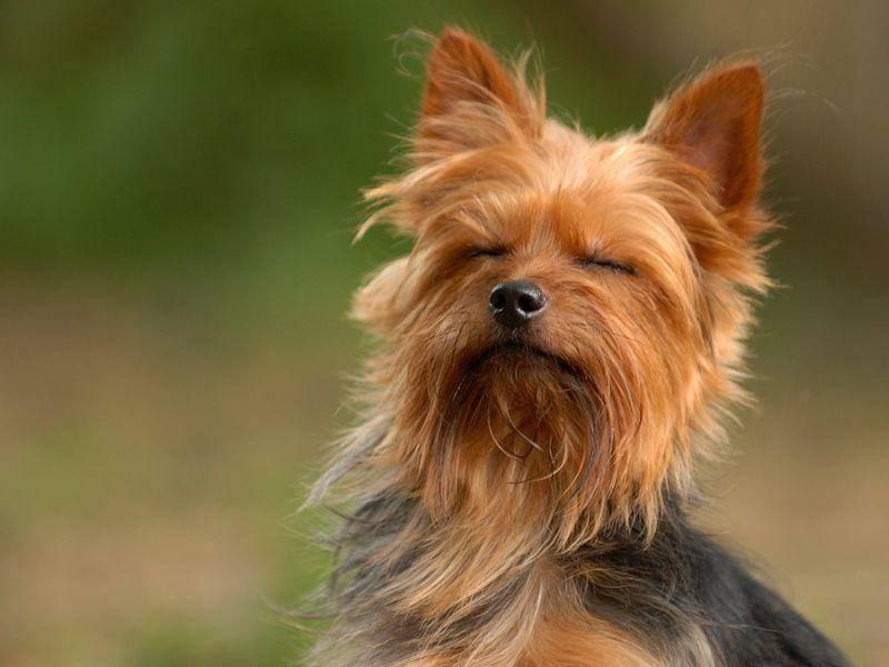 So klein und süß er auch ist – der Yorkshire Terrier hat ein mutiges Löwenherz - – Bild: Shutterstock / Michael D. Skelton