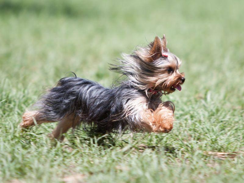 Beim Yorkshire Terrier handelt es sich keineswegs um einen Schoßhund. Der Yorkie ist lebhaft und selbstbewusst und wurde im 19. Jahrhundert in seiner Heimat Yorkshire auch als Rattenfänger eingesetzt - Bild: Shutterstock / Will Rodrigues