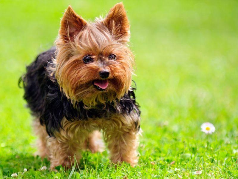 Klein aber oho: Der Yorkshire Terrier spielt gerne den Wachhund und man sollte darauf achten, seine Bellfreudigkeit unter Kontrolle zu behalten – Bild: Shutterstock / Imageman