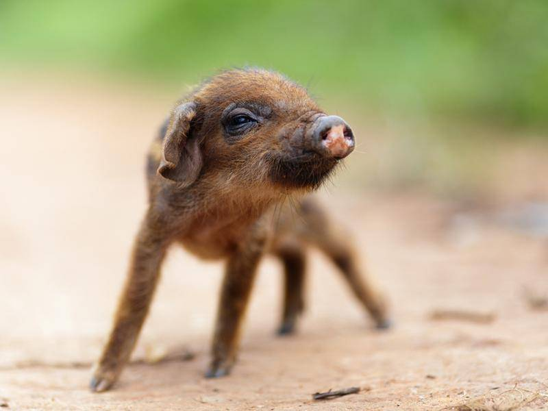 In Fernost feiert man Neujahr oft etwas später, aber das ist diesem asiatischen Glücksschweinchen egal – Bild: Shutterstock / Stephane Bidouze