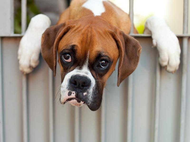 Auch ein Deutscher Boxer will einfach mal durchhängen – Bild: Shutterstock / atikinka