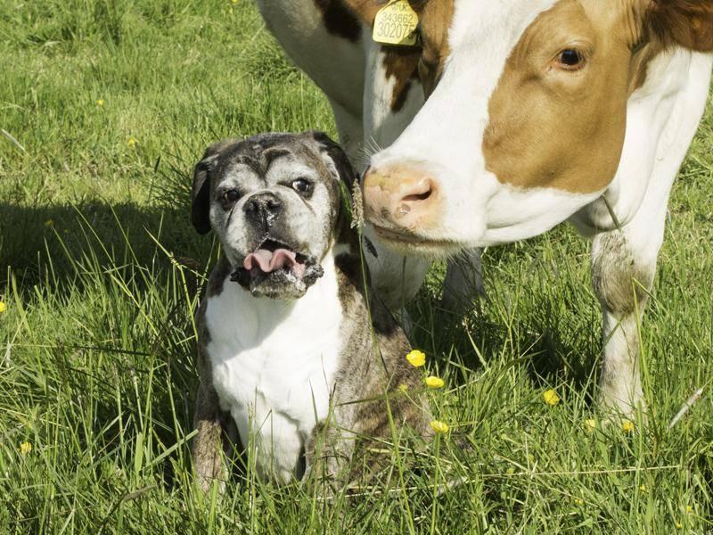 Kuck nicht so: Deutsche Boxer mögen ungewöhnliche Freundschaften – Bild: Shutterstock / Dick Kenny