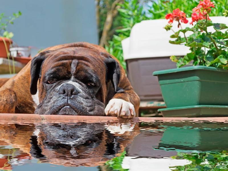 So reflektiert ein Deutscher Boxer sein Leben – Bild: Shutterstock / Gabriele Maltinti