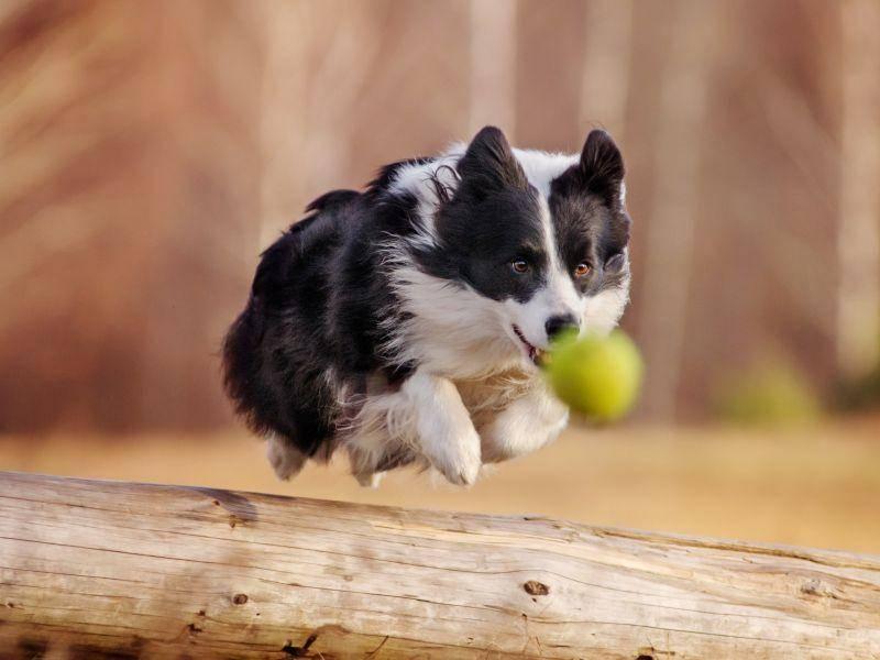 Rennen, das ist eine der ganz großen Stärken des Border Collies – Bild: Shutterstock / Anna Tyurina