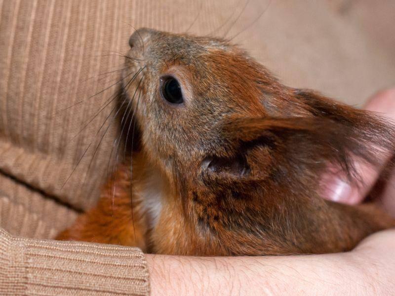 Seltenes Glück: Ein Eichhörnchen auf dem Arm – Bild: Shutterstock / Svietlieisha Olena