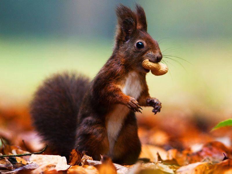 Sie fressen nicht nur Nüsse – als Allesfresser sind Eichhörnchen nicht wählerisch – Bild: Shutterstock / jurra8