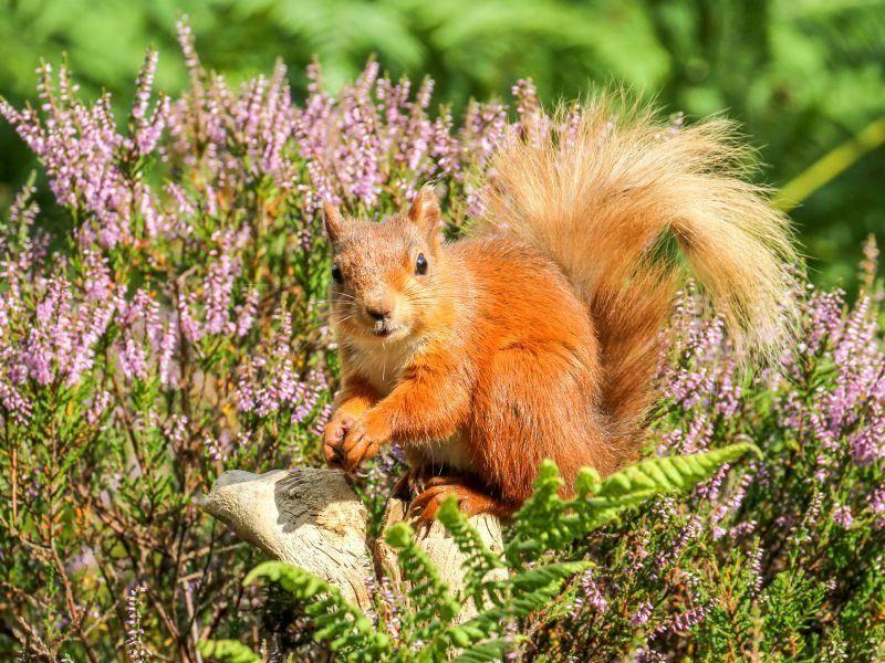 Und einen Spaziergang in der Heide lehnen Eichhörnchen selten ab – Bild: Shutterstock / Michael Heward