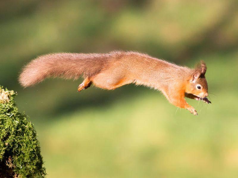"""""""Und hui!"""" Eichhörnchen können tierisch weit springen! – Bild: Shutterstock / Mark Medcalf"""