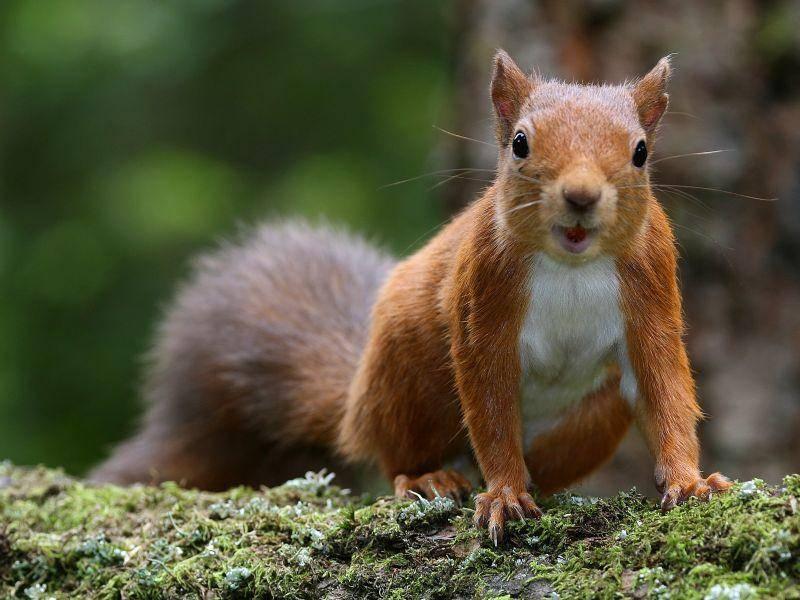 Und das ist unser letztes Eichhörnchen in der Runde! Dafür aber auch ein besonders süßes, oder? – Bild: Shutterstock / Mark Caunt