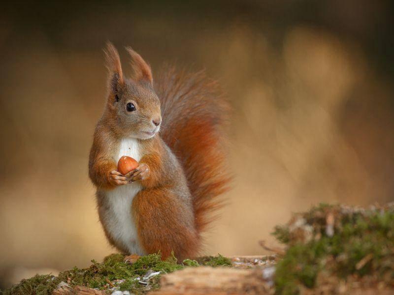 """Süßes Eichhörnchen: """"Das ist meine Nuss, noch fragen?"""" – Bild: Shutterstock / Neil Burton"""