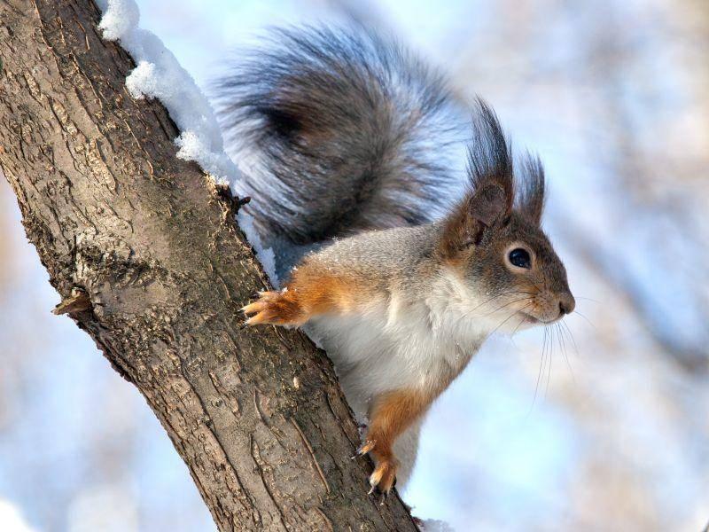 Das Eichhörnchen: Im Winter stets auf der Suche nach Nüssen – Bild: Shutterstock / fototehnik