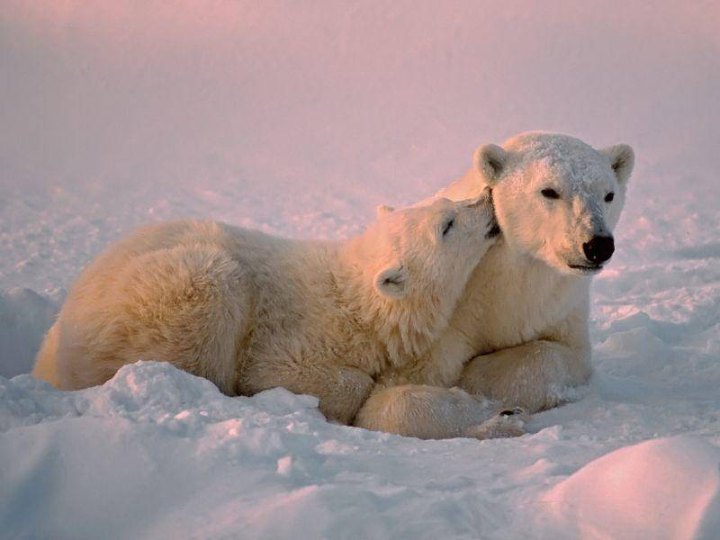 Bei diesen schönen Eisbären sieht selbst der tiefste Winter kuschelig aus – Bild: Shutterstock / outdoorsman