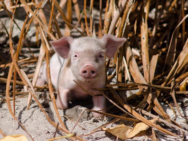 Angst vor Böllern? Ein gut verstecktes Glücksschwein – Bild: Shutterstock / ChameleonsEye