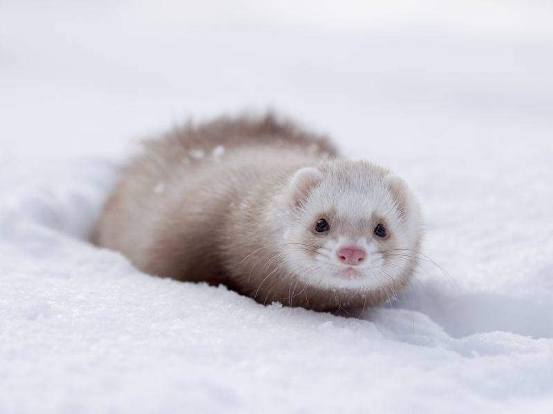 Gut ausgestattet mit seinem dicken Winterpelz: Das Frettchen – Bild: Shutterstock / outdoorsman