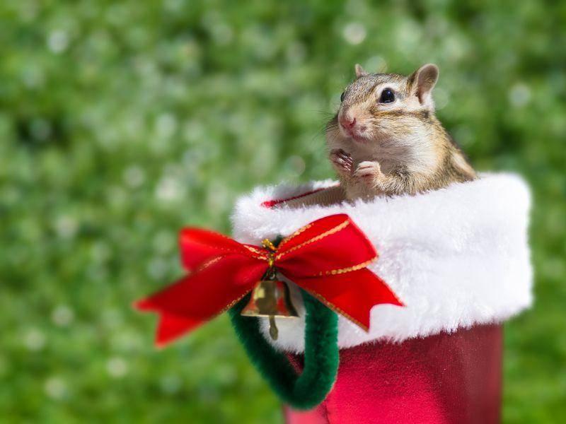 Und noch ein Hörnchen, das Weihnachten nach Herzenslust genießt: Klar, wann sonst findet man so viele Nüsse? – Bild: Shutterstock / stock_shot