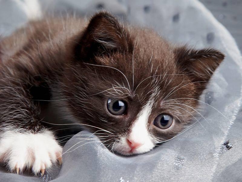 ... und ein Kuhmuster-Katzenbaby mit seiner Lieblingskuscheldecke – Bild: Shutterstock / Azaliya