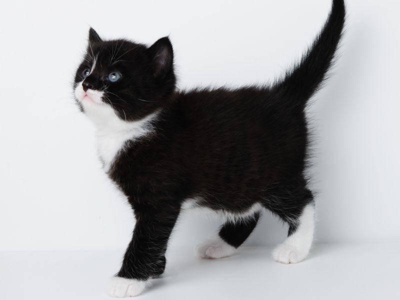 Bildschön: Ein Kuhmuster-Katzenbaby in seiner vollen Pracht – Bild: Shutterstock / tescha555