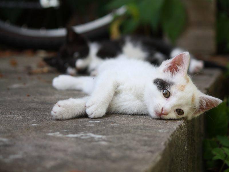 Na, wo versteckt sich das Kuhmuster-Katzenbaby? – Bild: Shutterstock / nastasija Popova