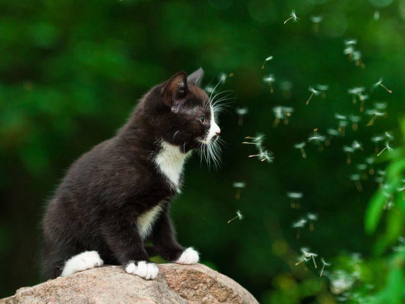 Kuhmuster-Katzenbaby auf Tour: Löwenzahn, wie schön! – Bild: Shutterstock / Rita Kochmarjova
