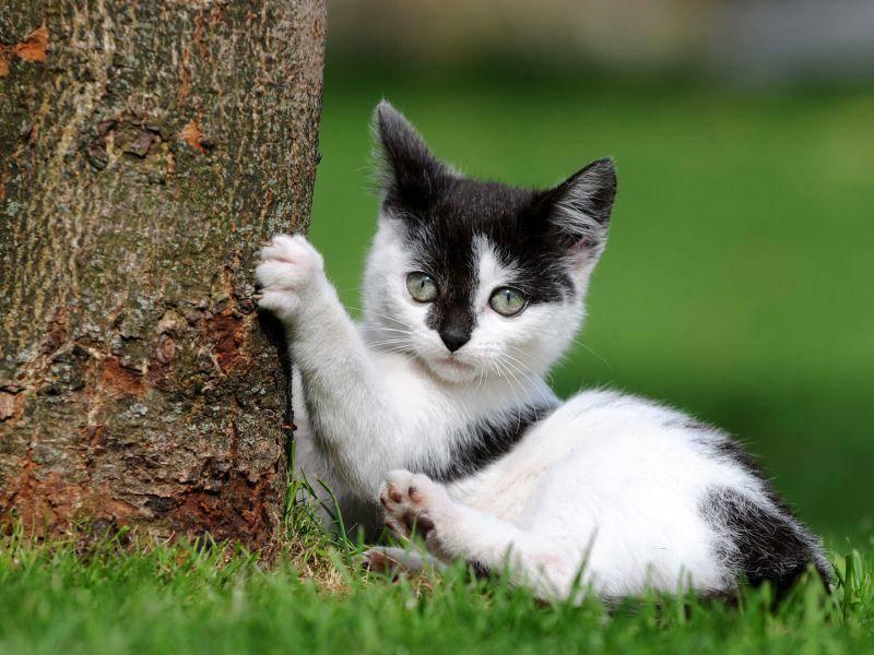 Dieses Kuhmuster-Katzenbaby entdeckt gerade das Krallenwetzen für sich – Bild: Shutterstock / Schubbel