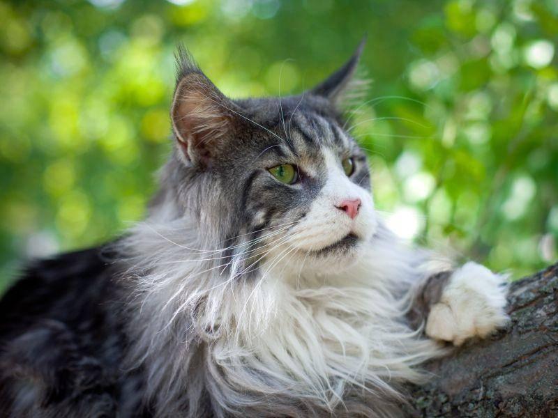 Eine Maine Coon Katze genießt die Aussicht auf einem Baum – Bild: Shutterstock / Artem Kursin