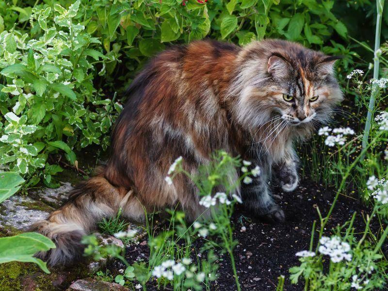 Und ebenfalls ein toller Anblick: Norwegische Waldkatze beim Gartenspaziergang – Bild: Shutterstock / g215