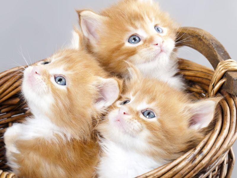 Eine kleine Bande Maine-Coon-Katzenbabys – Bild: Shutterstock / Liliya Kulianionak