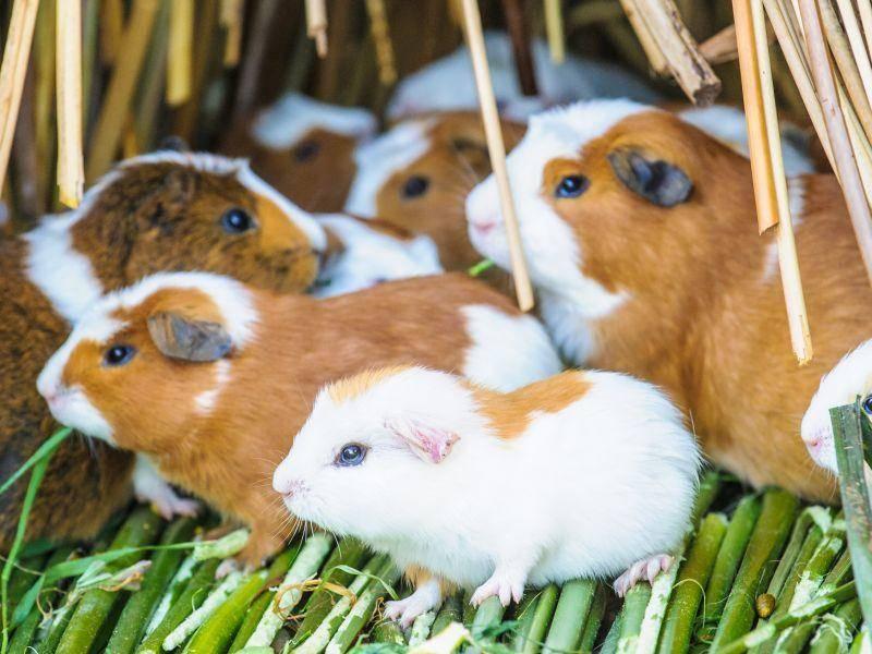 Etwas so Süßes wie eine klitzekleine Bande Meerschweinchen trifft man nicht alle Tage – Bild: Shutterstock / Anton_Ivanov