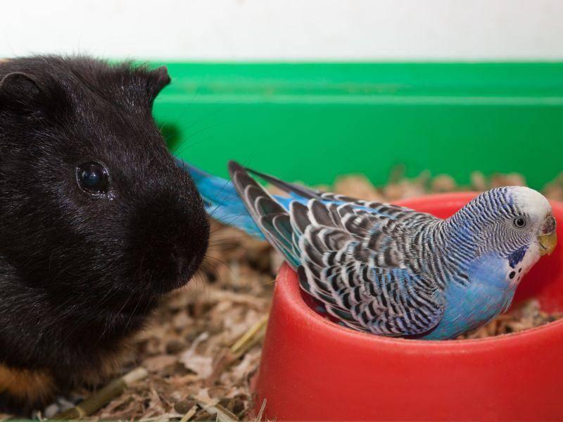 Auf ungewöhnliche Besucher reagieren Meerschweinchen meist cool – Bild: Shutterstock / waldru