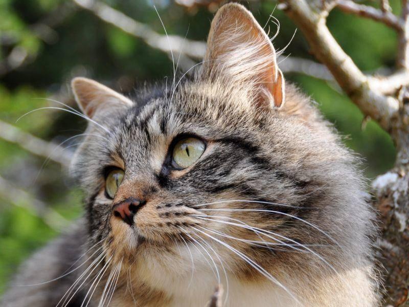 Und im Vergleich: Eine Norwegische Waldkatze mit dreifarbigem Fell – Bild: Shutterstock / HHelene
