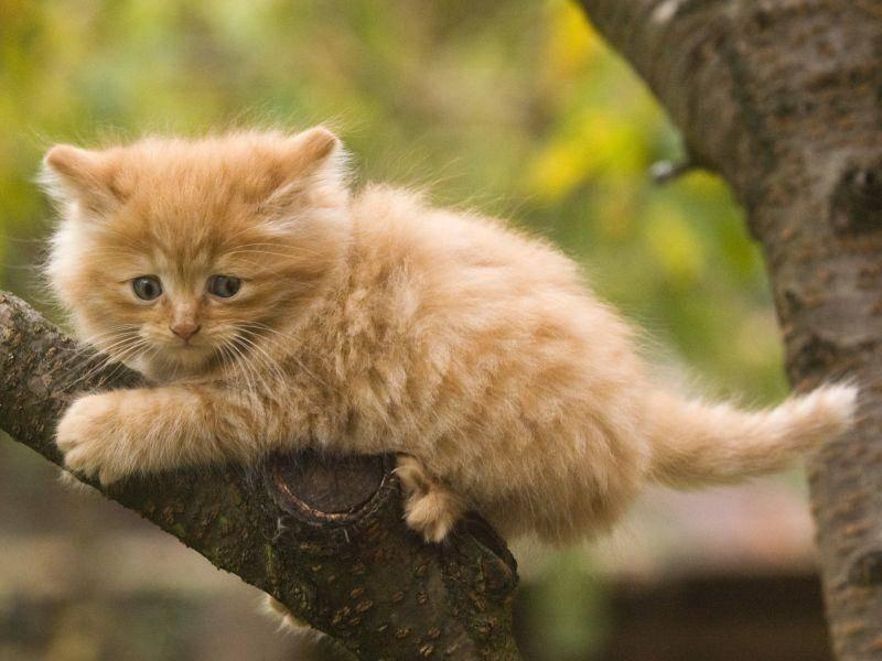 Nicht zu verwechseln mit einem Norwegische Waldkatzenbaby – Bild: Shutterstock / hosphotos