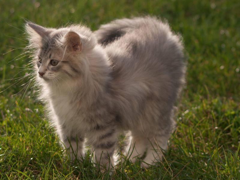 Und zum Schluss ein kleines Ratespiel: Maine Coon oder Norwegische Waldkatze? – Bild: Shutterstock / Joanna22