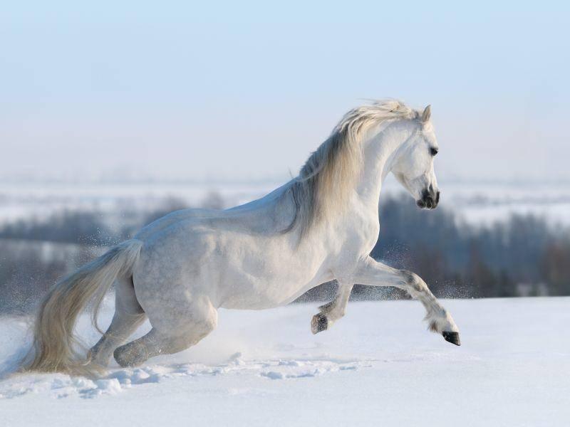 Für Pferde ist so eine frische Schneedecke im Winter wunderbar, um sich auszutoben – Bild: Shutterstock / Abramova Kseniya