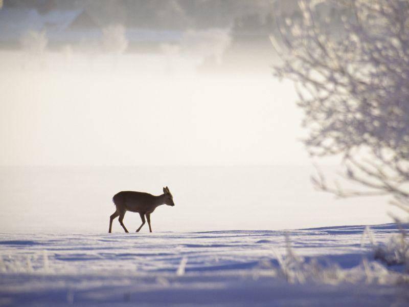 Idyllischer Anblick: Ein Reh im Winter – Bild: Shutterstock / BMJ