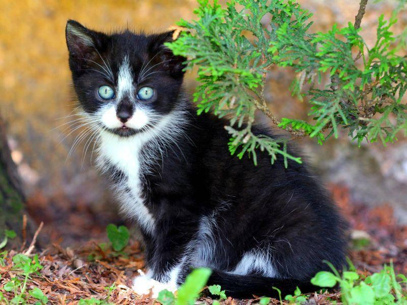 Kuhmuster-Katzenbaby mit blauen Augen: Schöner geht's nicht, oder? – Bild: Shutterstock / Dermot68