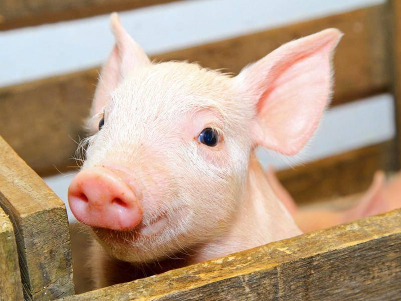 Schweini wünscht allen Freunden von einfachtierisch.de ein glückliches Jahr 2014 – Bild: Shutterstock / Baloncici