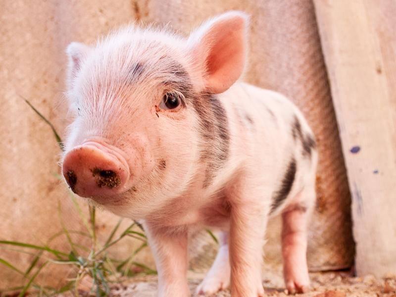 """""""Guten Rutsch und ein ferkeliges neues Jahr!"""", wünscht dieses Schweinchen – Bild: Shutterstock / S-F"""