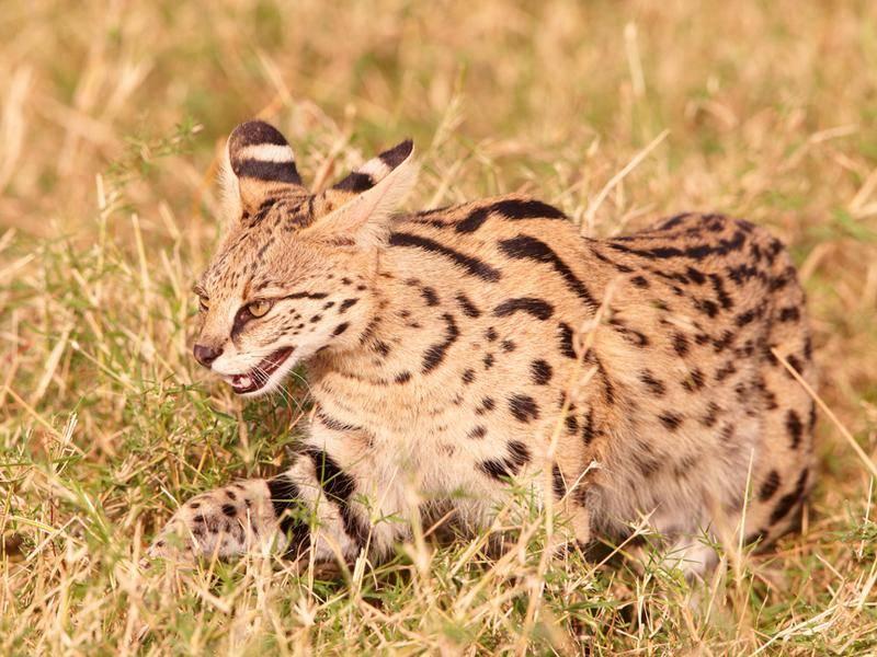 Wilder Serval: Hier liegt der Ursprung der Savannah-Katze – Bild Shutterstock / Hedrus