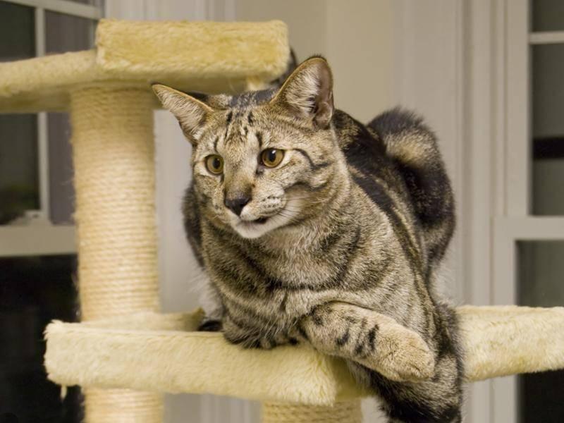 Die Savannah-Katze ist sehr aktiv und braucht viel Freiraum und natürlich einen Kratzbaum – Bild: Shutterstock / ARENA Creative