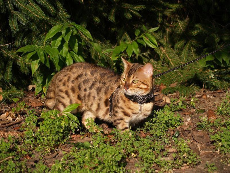 Manche Savannah-Katzen lassen sich auch an die Leine gewöhnen – Bild: Shutterstock / Lindasj22
