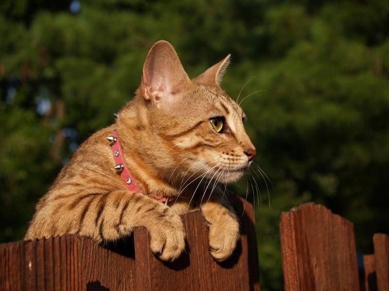 Verspielte Savannah-Katze wirft einen neugierigen Blick über den Zaun – Bild: Shutterstock / Lindasj22
