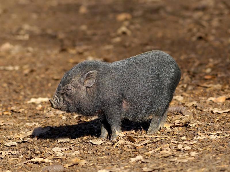 Kleines Schwein aus Vietnam, wünscht frohes Fest mit viel Tamtam – Bild: Shutterstock / Tomo Jesenicnik