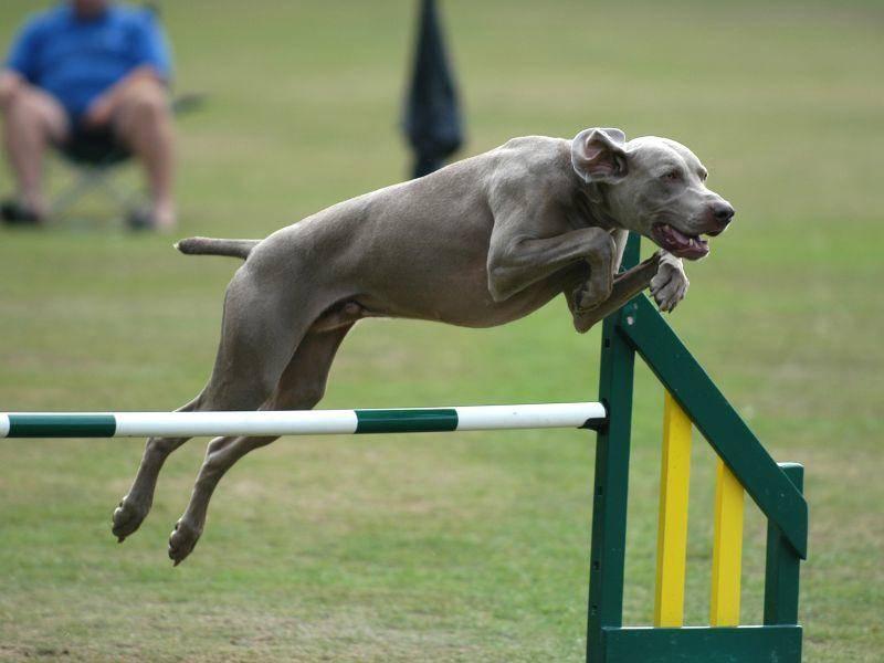 Der athletische Vierbeiner ist natürlich ein begnadeter Agility-Sportler – Bild: Shutterstock / Nick Hayes