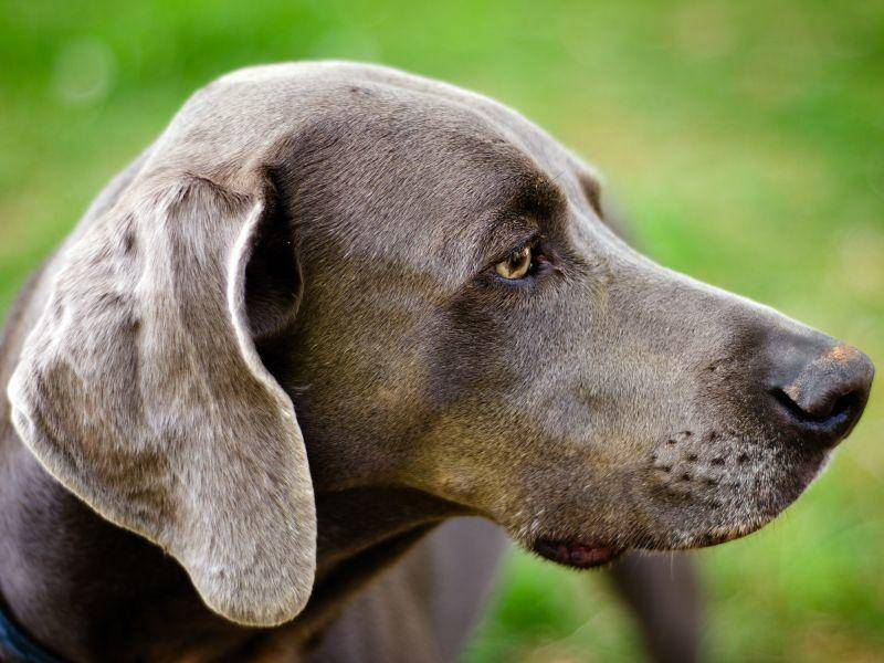 Jäger schätzen den Weimaraner für seine hervorragende Nase – Bild: Shutterstock / Rob Hainer