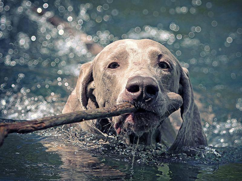 Mit Schwimmen hat der furchtlose Vierbeiner ganz und gar kein Problem – Bild: Shutterstock / DragoNika